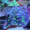 Acanthastrea echinata tricolor