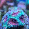 WYSIWYG Goniastrea kaleidoscope