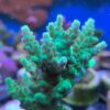 Acropora raspberry fancy cake