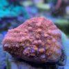 Caulastrea furcata - Preis pro Polyp, gewählte Anzahl kommt ohne Stein