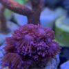 Euphyllia Sp. Grün lila Angebot!!!