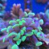 Euphyllia glabrescens Triple - toxic green torch purple tips WYSIWYG