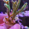 Acropora Latistella Ultra mint WYSIWYG