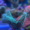 Stylophora pistillata, Griffelkoralle,