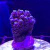 Acropora hyacinthus red planet