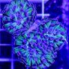 Chalice (Echinophyllia )pink/blue Sheppard (WYSIWYG)