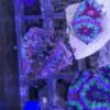 DNZ - Stomatella auricula(varia)/ Ohrschnecke