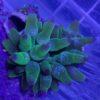 Kupferanemonen, Blasenanemonen rot