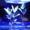 Briareum hamrum, neongrüne Röhrenkoralle, 6-7 cm