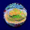 Acropora Purple Tricolor WYSIWYG