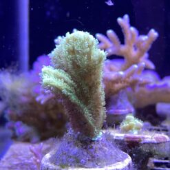 Hydnopora ultra green