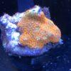 Seriatopora hystrix, Christusdorn-Koralle, Stachelbusch-Koralle