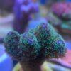 Porites cylindrica - gelb/grün WYSIWYG