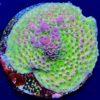 Acropora sp. green purple WYSIWYG