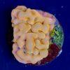 Acropora Sour Patch WYSIWYG