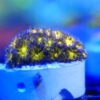 Duncanopsammia axifugia - neongrün/weiße Bartkoralle WYSIWYG