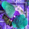 Euphylia blue tip