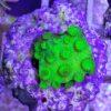 Green torch Euphyllia paraancora Hammerkoralle