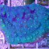 Euphyllia WYSIWYG