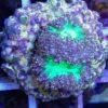 Cyphastrea neon grün WYSIWYG