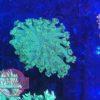 Goniopora toxic green WYSIWYG
