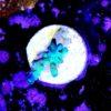 Acropora sp. lila/blau (WYSIWYG)