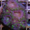Acanthastrea lordhwensis