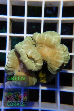 Caulastrea furcata `grün