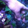 Montipora delicatula (DNZ)