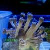 Favia / Favites Korallenpaket 10 stück