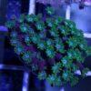Favia War Coral Lps rot grün