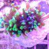 Alveopora grün, mit 25-30 Polypen!