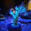 Acropora butanai grün blau (DNZ)