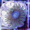 Euphyllia paradivisa WYSIWYG seltene Farbmorph
