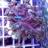 Caulastrea echinulata - Neongrün WYSIWYG