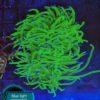 Euphyllia glabrescens Golden Torch Dragon Soul WYSIWYG 2,5kopf