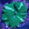 Rhodactis Multicolor WYSIWYG