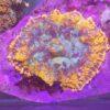 Zoanthus Magician Ultra