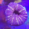 Acanthastrea bowerbanki red Blue Ultra