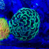 "Euphyllia glabrescens ,,Green Tip Black Torch"" WYSIWYG/NZ"