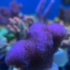 Montipora Blueberry Cheesecake *WYSIWYG*