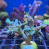 Acropora sp. - Aquamarin WYSIWYG