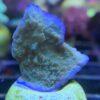 Stylophora pistillata - Neongrün WYSIWYG