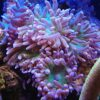 Bartkoralle 8 Polypen - Duncanopsammia axifuga