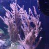 Gorgonie Plexaura homomalla lila (DNZ)