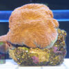 Acanthastrea echinata `orange´