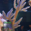 Acropora-marineblau