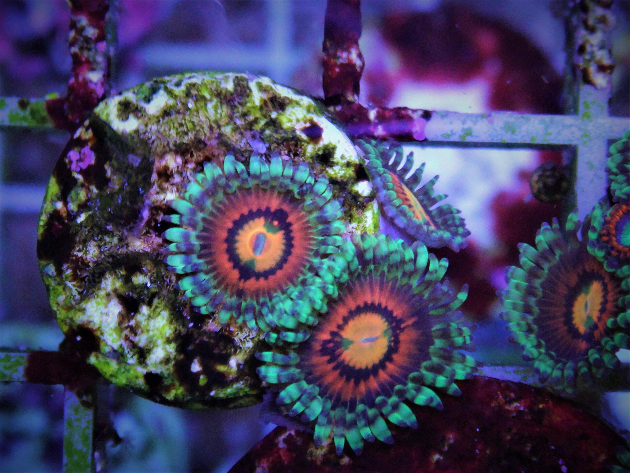 Thueringer Korallen
