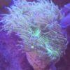 Milka Sps Anfänger Koralle Nachzucht!!!