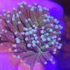 Caulastrea furcata blaugrün 2 Polypen (DNZ)